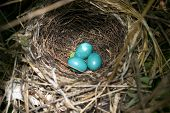 Three Catbird Eggs