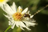 Virginia Flower Fly (milesia Virginiensis)