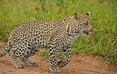 Young leopard in the African wilderness