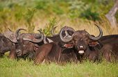 Herd of Cape Buffalo lying the African wilderness