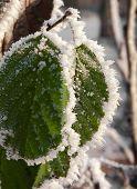 Ice On Leaves