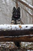 Black German Shepherd in the snow forest