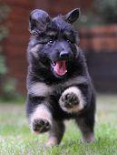 Black German Shepherd puppy jumping