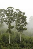 Eucalyptus Trees In The Mist