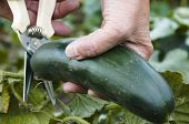 Picked Cucumber