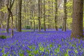 English bluebell woods in spring time with flowers in bloom poster