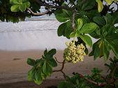 Flowering Tree On Hawaiian Beach