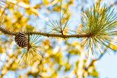 Woody Cone On Pine Tree Branch. Pines Are Shrub Species That Belong To The Genus Pinus. They Are Eve poster