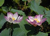 Two Lotus