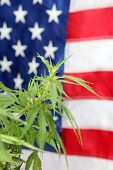 Marijuana. Legal Marijuana Plant with American Flag background. Marijuana is legal for medical and r poster
