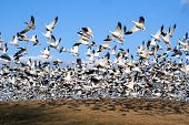 stock photo of snow goose  - Thousands of Snow Geese fly from a hillside during Spring migration - JPG