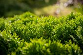 Closeup Of Green Christmas Leaves Of Thuja Trees. Nature Background Or Wallpaper Texture. Green Thuj poster