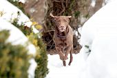 A Red-brown Labrador Retriever In The Snow poster