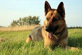 Dog - Alsatian