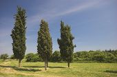 Three Cypress Trees