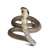 stock photo of venomous animals  - king cobra  - JPG