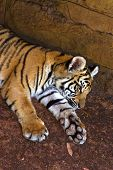Tiger Whelp Lays In Shadows poster