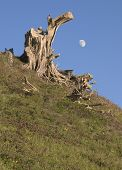 Bleached Tree Stump And Moon