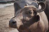 Sacred Cow On The Embankment Of Varanasi, India