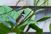 A Red-whiskered Bulbul Bird (pycnonotus Jocosus), Or Crested Bulbul, Perched In The Rainforest Showi poster