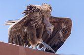 The Griffon Vulture Close Up(gyps Fulvus)  Hunched Over  Showing Its Huge Body. poster
