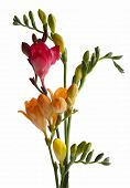 red and orange flowers of fragrant freesia