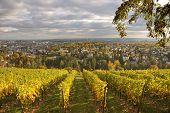 Vineyard At Neroberg  Hill