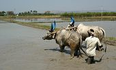 Buffaloes In The Rice Fields, Kerala, South India