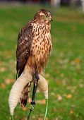 Young Goshawk