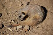 A Meerkat (Suricata suricatta) is playing