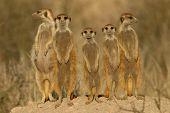 Suricate (Meerkat) Familie
