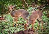 A couple of dik-dik antelopes, in Africa. Lake Manyara national park, Tanzania