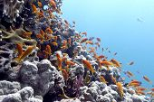 coral reef with hard corals and exotic fishes anthias on the bottom of tropical sea