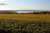 Vineyard On The Bay