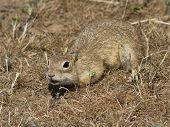 Young Small Gopher In Thesteppe.