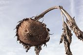 Sunflower Dry