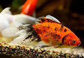 Goldfish (Carassius auratus auratus) swimming underwater