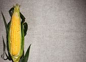 One corn ear on gray linen canvas, with copy space design ready