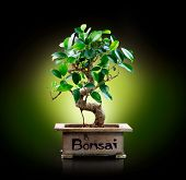 picture of bonsai  - Bonsai isolated on Black background - JPG