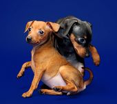 stock photo of miniature pinscher  - The Miniature Pinscher puppies 2 months 1 week old