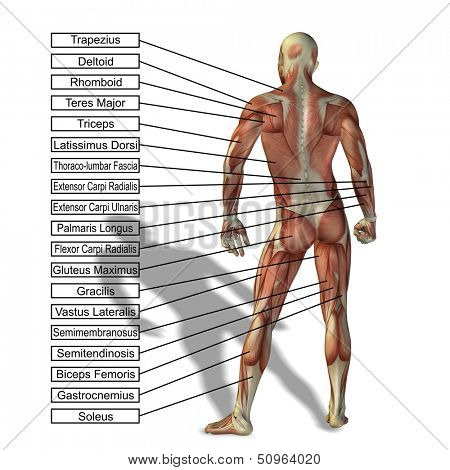 Picture or Photo of High resolution concept or conceptual 3D human anatomy and muscle isolated on white background as a metaphor to body,tendon,spine,fit,builder,strong,biological,skinless,shape,posture,health or medical