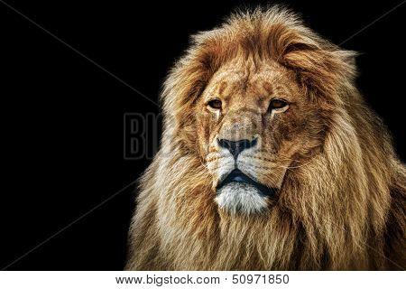 Lion portrait on black background. Big adult lion with rich mane. poster