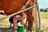 Milkmaid Milking A Cow Horizontal