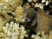White-mouth Moray