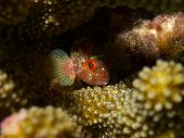Yellowspotted Scorpionfish