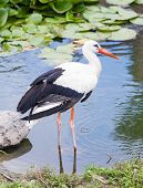 Stork Standing In The Ode In The Lake