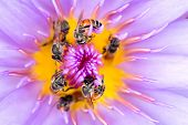 Tiny bees in circle gathering pollen in the heart of a vivid waterlily flower