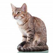 Brown Striped Kitten (4 Months Old)