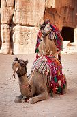 Pair of camels in the ancient city of Petra,  Jordan.