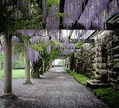 Wistera Lane at Biltmore Estate